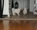 playing-puppies